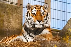 tiger-mat